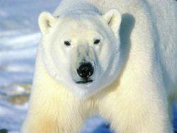 Polar-bear-big