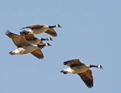 Canada-geese-flying