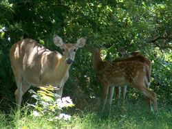 Doe_fawns