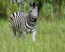 Zebra credit Sias van Schalkwyk/SXC
