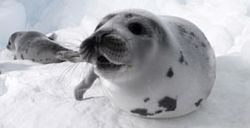 Seal pup in Atlantic Canada