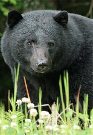 Black bear credit iStockphoto