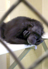 Chimp in Lab