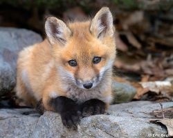 Red fox credit Eric Begin/CreativeCommonsSearch