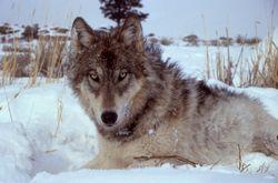 Yellowstone_Wolf