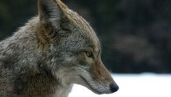 Coyote credit Christopher Bruno/SXC