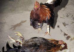 281x196_Cockfighting_Poster
