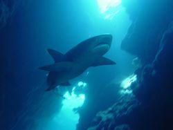 Reef Whitetip Shark NOAA Pacific Islands Fisheries Science Center