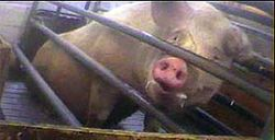 Sow in gestation crate at Ohio factory farm