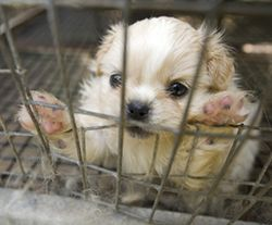Dog_puppy_mill_rescue_puppy_close_270x224