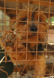 Dog at a Tennessee puppy mill