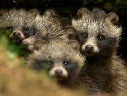 RaccoonDogPups