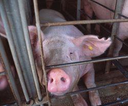 Pig_gestation