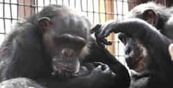 Chimpanzees at Chimpanzee Sanctuary Northwest