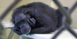 Chimpanzee in a laboratory