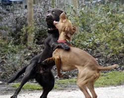 Dogsfighting