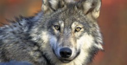 Gray wolf- USFWS