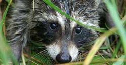 281x144_raccoon_istock
