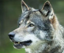 270x224_wolf_istockphoto