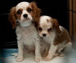 270x224_king_charles_tn_puppy_mill_kmilani