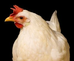 270x224 white hen istock