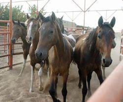 Horses_in_pen_270x224