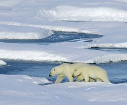 Bear_polar_bear_and_cub_270x224