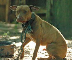 Pit_bull_dogfight_fla_270x224