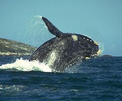 Whale_right_270x224