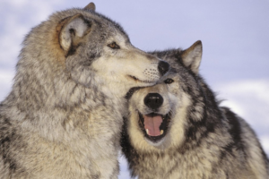 Graywolvesplaying