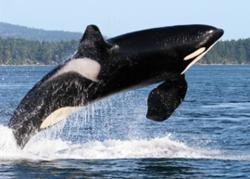 ORCA_ISTOCK