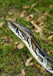 Snake-burmese-python-hkuchera-istock-184x265