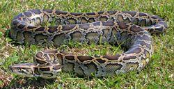 281x144_burmese_python_NPS