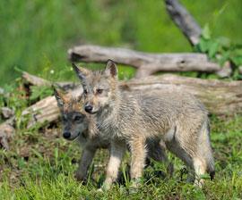 Gray-wolf-pups270x224