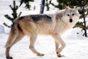 Graywolfinwild