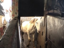 Horse Entering Salughter Chute
