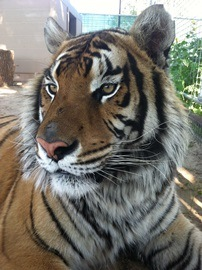Alex the Tiger at Cleveland Amory Black Beauty Ranch Credit JP Bonnelly