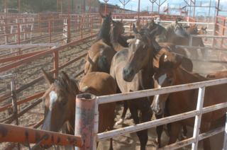 Horses for slaughter