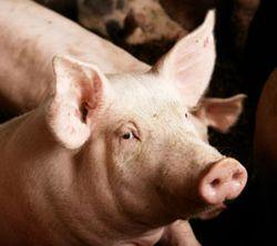 Pig-for-blog