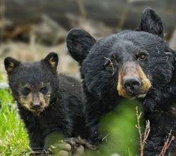 Bears_blog_alamy
