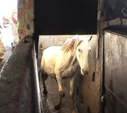 Horse_slaughter_blog