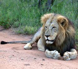 Lion-for-blog