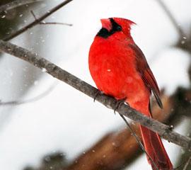 Cardinal_winter_blog_milani