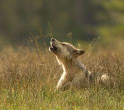 Wolf_blog_270x240_alamy