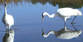 Two whooping cranes, credit Joel Trick, U.S. Fish and Wildlife Service