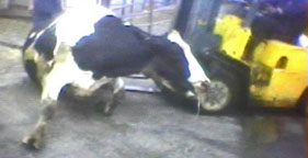 Downed cow pushed with forklift