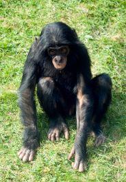 Chimpanzee, credit Stephen Meese, iStockphoto