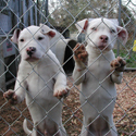 Dogfighting_fence_2