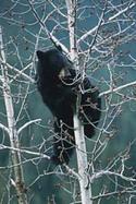 Bear_in_tree