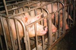 Pigs_3